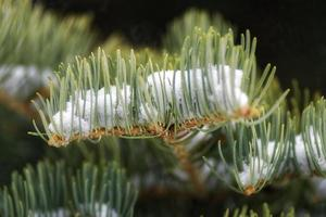 Conifer needles with snow