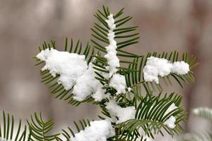 Fir tree needles with snow