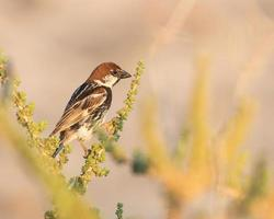 Spanish sparrow perched