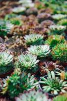 Baby succulents in pots