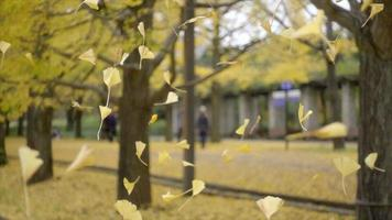 Feuilles de gingko jaune tombant ensemble dans le jardin