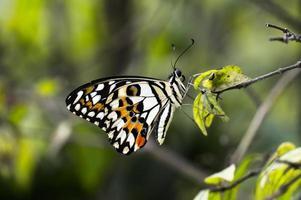 Mariposa descansa en la hoja.