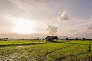 Fresh rice field on beautiful sunset