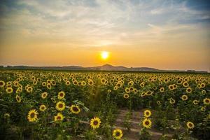 Sunflower under the sun