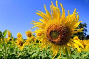 Hello sunshine - Sunflowers farm