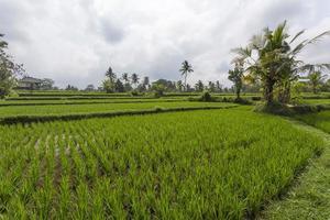 Rice Field in Ubud, Bali, Indonesia photo
