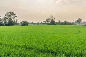 ricefield photo
