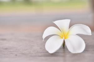 Close up of plumeria or frangipanni blossom photo
