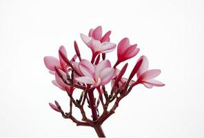 Branch of tropical pink flowers frangipani (plumeria)