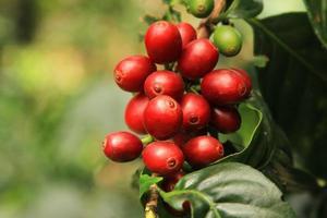 granos de cafe maduros foto