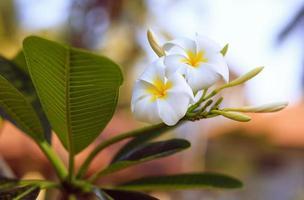 Tropical flower frangipani. Thailand. Plumeria.