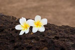 White Plumeria flower with old brown brick