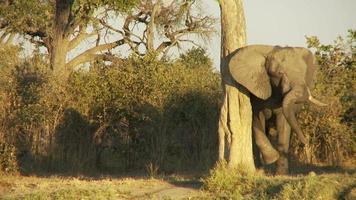 olifant wrijven