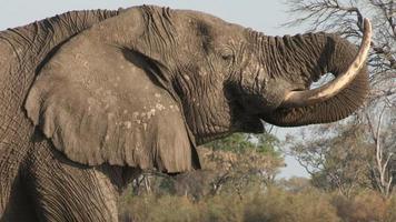 close-up de elefante macho bebendo em um rio no delta do okavango