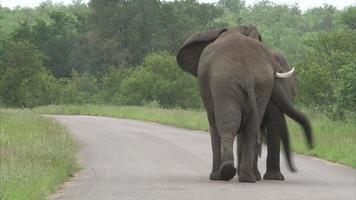 Walking elephant in the bush