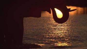 olifantenstier in silhouet drinken uit de rivier bij zonsondergang, okavangodelta video