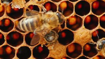 l'emergere di una nuova vita: una giovane ape vola fuori dalla cella in cui è cresciuta. secondo, aiuta l'ape