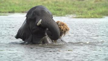 jovem touro brincando com alguma vegetação no rio, delta do okavango