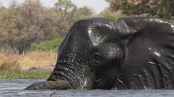 elefante macho nadando em um rio no delta do okavango