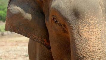 head wild elephant