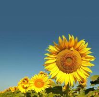 Bee and sunflower photo