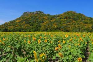 Yellow Sunflowers Fields with Mountain in Backgrounds