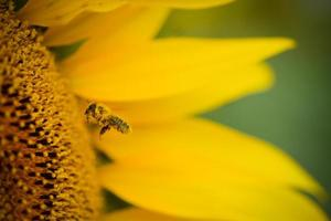 closeup macro shot of bee collecting pollen in sunflower