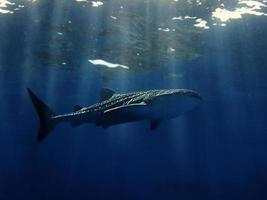 tiburón ballena foto