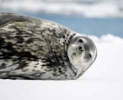 Cute Weddell Seal photo
