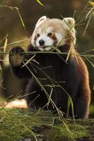 Red Panda eating Bamboo photo