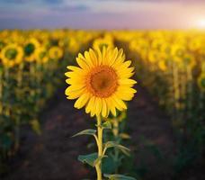 Individual sunflower. photo