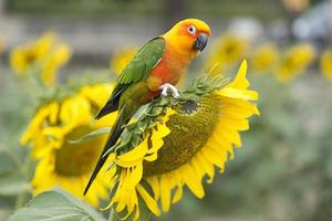 Fields of sunflowers and parrot bird. photo