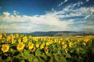 Photo of blooming sunflower field