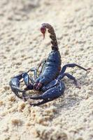 One Scorpion on sand with claws and sting photo