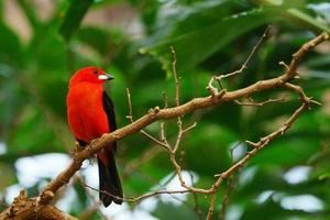 Colorful flame red tanager tropical brazil bird