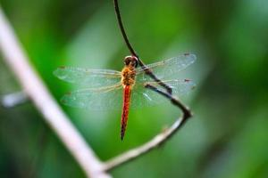 Flame Skimmer dragonfly photo