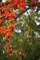 postal de flor de naranja, teca bastarda, kino de Bengala, llama del foto
