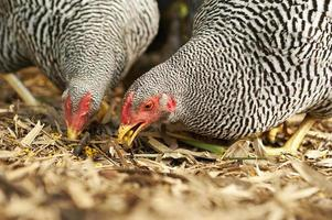 Plymouth rock hens eating in action