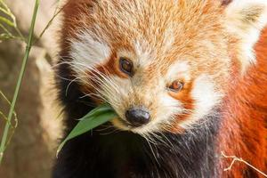 The Red Panda, Firefox photo