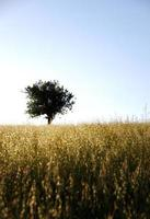 Tree in wheat field at sunset photo