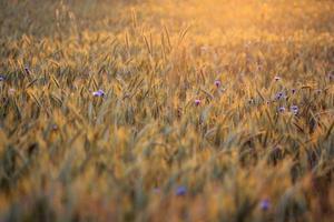 Blue cornflower with golden ripe wheat in field photo
