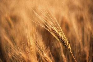 Wheat in the rain