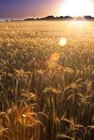 Wheat field on the sunrise of a sunny day photo