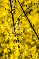 yellow spring flowers on green photo