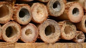 abeille sauvage osmia bicornis