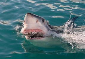 Sharks Grin photo
