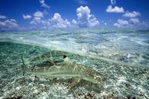 tiburón de arrecife de punta negra foto