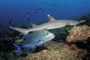 tiburón punta blanca foto