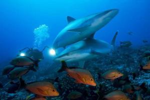 carcharhinus albimarginatus / tiburón punta plateada foto