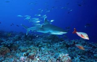 Tiburón punta plateada / carcharinus albimarginatus foto